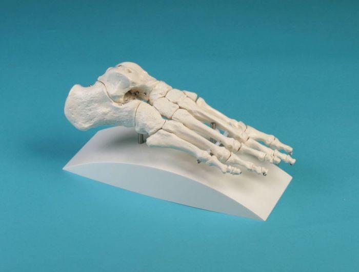 Modèle de squelette du pied - sur support 6050S Erler Zimmer
