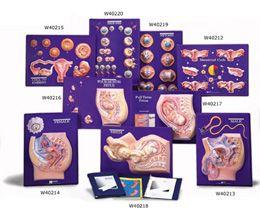 Kit d'enseignement de fœtus maturé 3B Scientific W40217