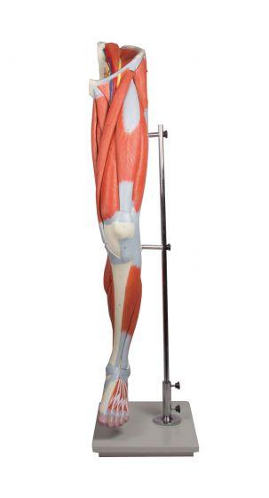 Modèle des muscles de la jambe en 13 parties