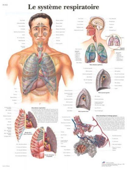 Planche anatomique Appareil respiratoire VR2322L