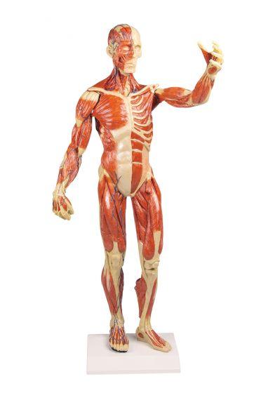 Modèle anatomique de muscle, 1/3 grandeur nature B90 Erler Zimmer
