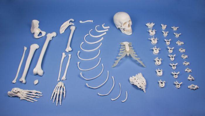 Demi-squelette démonté, coté droit 3024 Erler Zimmer