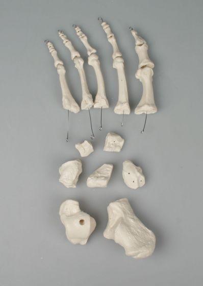 Modèle d'os du pied, démontés Erler Zimmer 3050