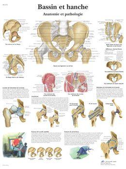 Planche anatomique Bassin et hanche - Anatomie et pathologie VR2172UU