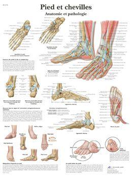 Planche anatomique Pied et chevilles - Anatomie et pathologie VR2176UU