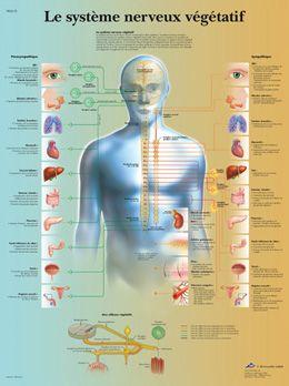 Planche anatomique Le système nerveux végétatif VR2610UU