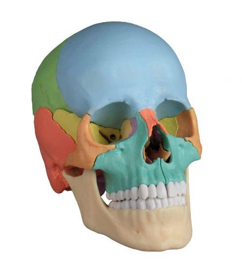 Crâne articulé version Didactique, 22 pièces 4708 Erler Zimmer