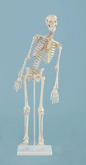 """Squelette miniature """"Fred"""" avec colonne vertébrale flexible et marquage des muscles 3045 Erler Zimmer"""