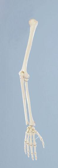 Modèle de squelette du bras 6012 Erler Zimmer
