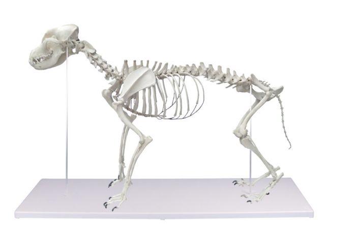 Squelette de chien taille naturelle Erler Zimmer VET1700