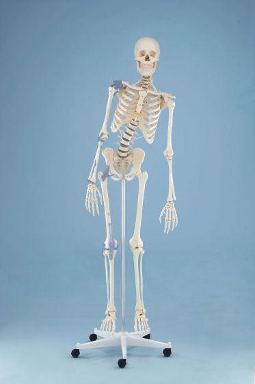 """Squelette """"Toni"""" avec colonne vertébrale flexible et ligaments visibles - sur roulettes - 3013 Erler Zimmer"""