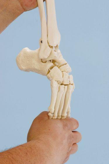 Modèle de squelette du pied avec début de tibia et péroné, souple 6056 Erler Zimmer