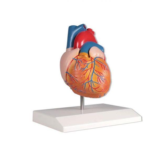 Modèle de coeur en 2 parties Mediprem