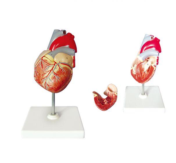 Modèle de coeur Mediprem