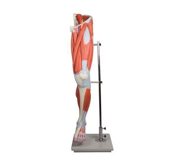 Squelette de jambe avec muscles en 7 pièces