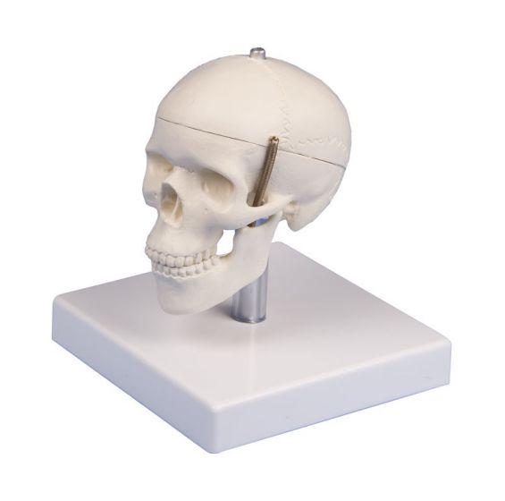 Modèle de crâne miniature en 3 parties avec socle 4650 Erler Zimmer