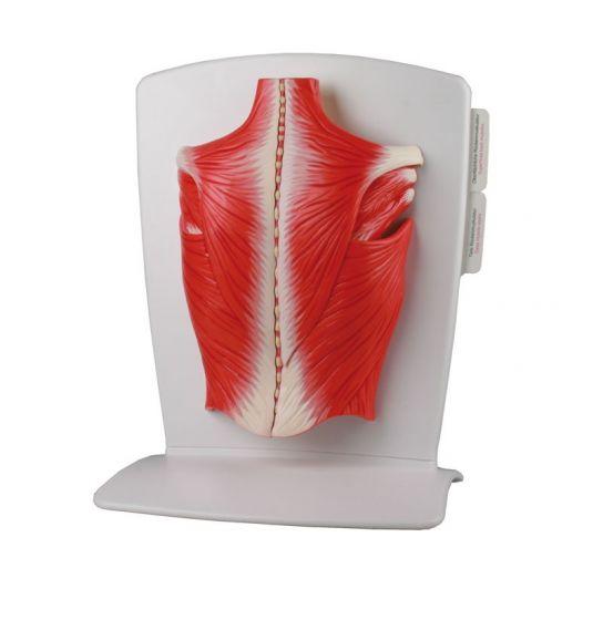 Modèle de muscles du dos en 4 parties M290 Erler Zimmer