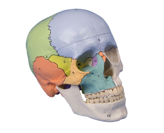 Crâne didactique coloré en 3 parties 4508 Erler Zimmer