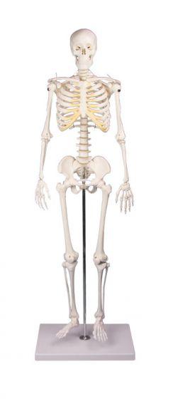 Squelette miniature Tom 3032 Erler Zimmer