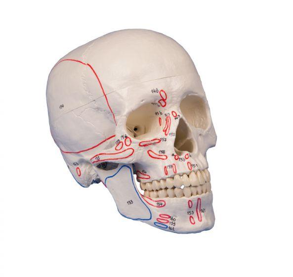 Crâne en 3 parties avec marquage musculaire 4509 Erler Zimmer