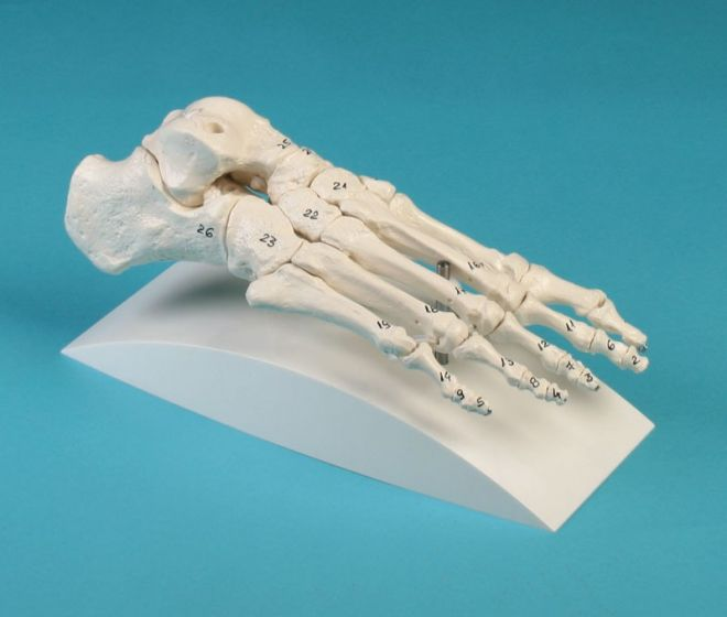 Modèle de squelette du pied, numéroté - sur support 6051S Erler Zimmer