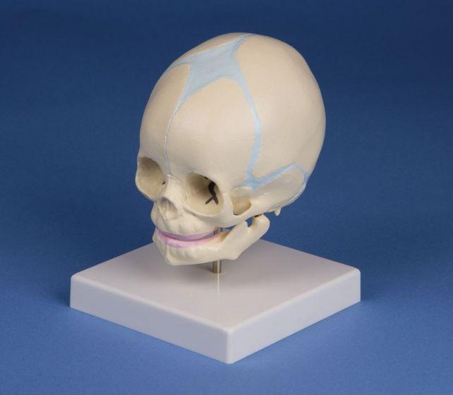 Modèle de crâne de fœtus de 30 semaines 4519 Erler Zimmer