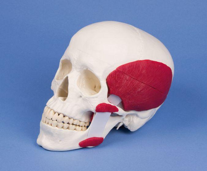 Crâne avec muscles masticateurs en 2 parties 4512 Erler Zimmer