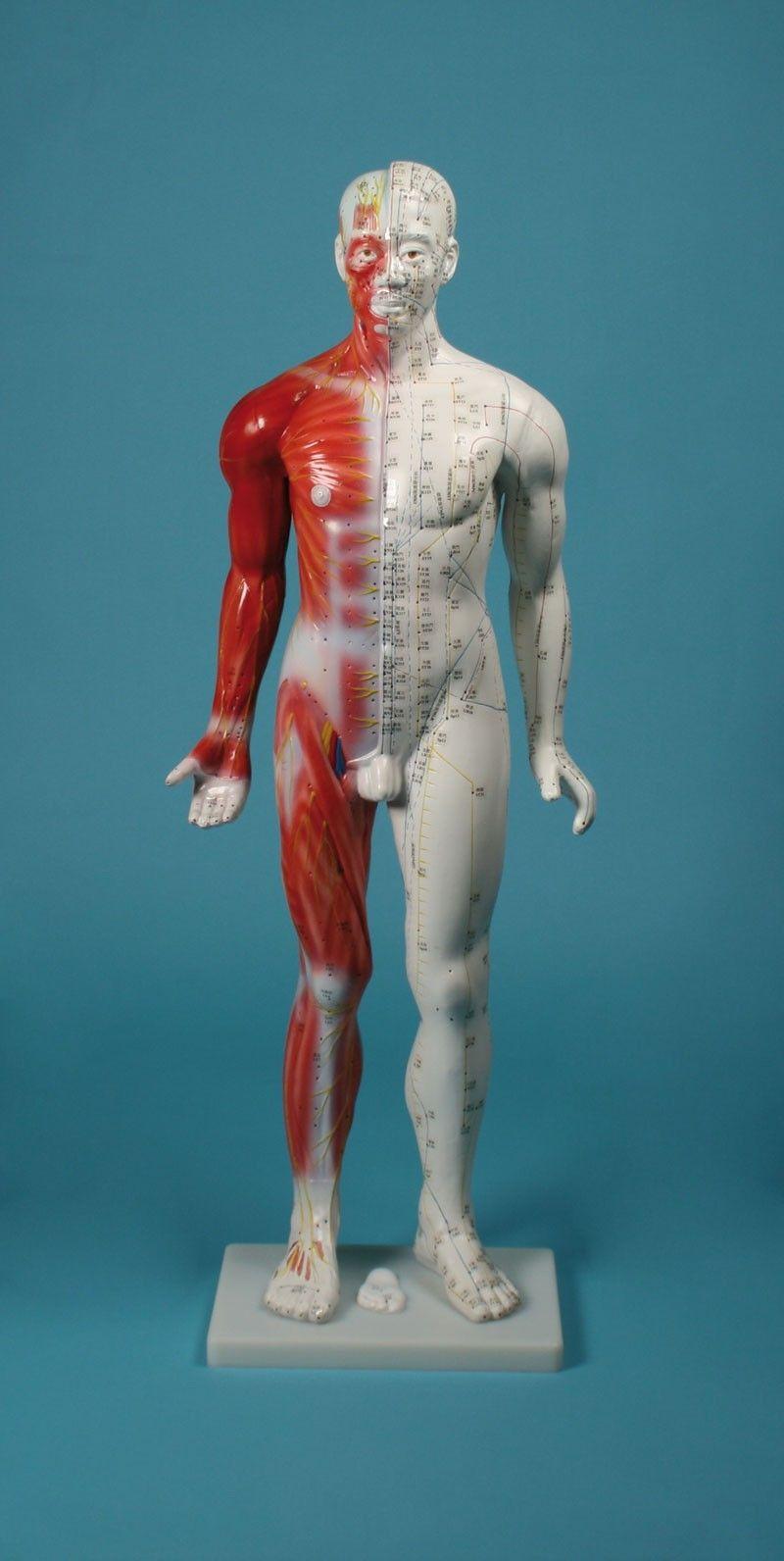 Vente du modèle d'acupuncture masculin 80 cm 2050 Erler Zimmer à 76.63