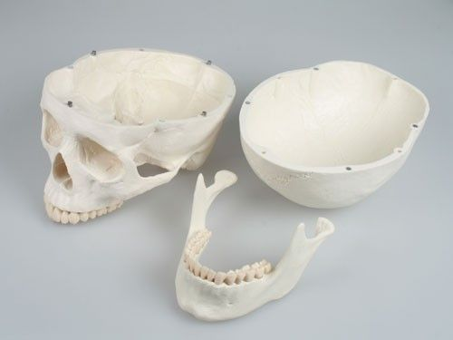 Modèle de crâne 3 parties 4500 Erler Zimmer