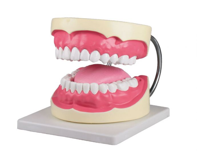 Modèle de soins dentaires agrandi 3 fois Erler Zimmer D216
