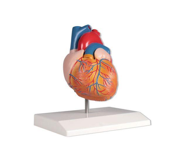 Modèle de cœur grandeur nature en 2 parties G310 Erler Zimmer