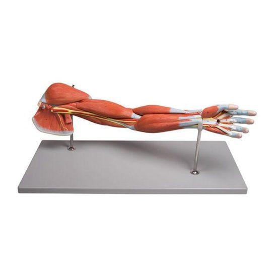 Squelette de bras avec muscles en 7 parties Mediprem