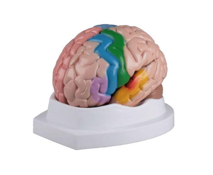Cerveau en 5 parties avec représentation du cortex cérébral C222 Erler Zimmer