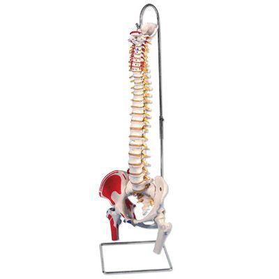 Colonne vertébrale classique flexible peinte avec des moignons de fémur A58/3