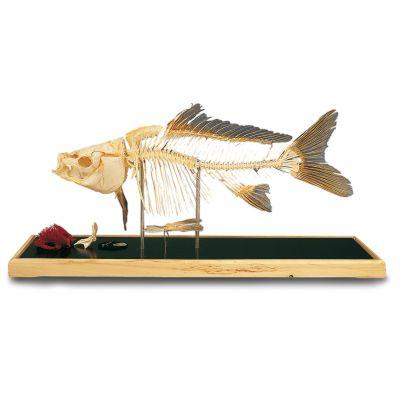Squelette de poisson - carpe (Cyprinus carpio) T30001