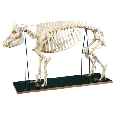 Squelette de porc (Sus scrofa) T30013