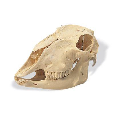 Crâne de mouton (Ovis aries) T30018