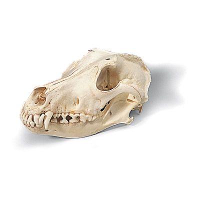 Crâne de chien (Canis domesticus) T30021