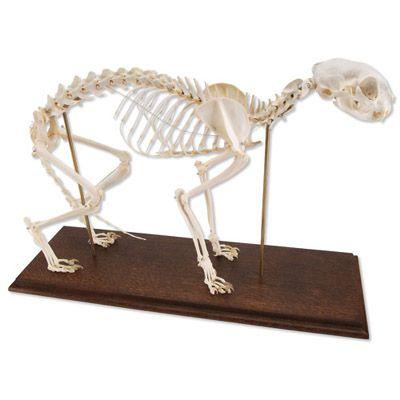 Squelette de chat (Felis catus) T30028