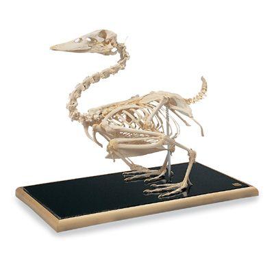 Squelette de canard  (Anas platyrhynchos) T30035