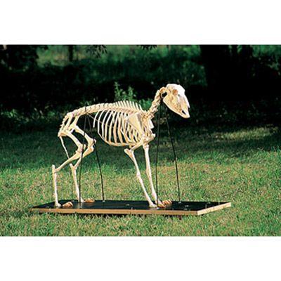 Squelette de mouton (Ovis aries) T30036