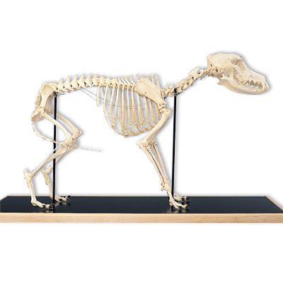 Squelette de chien (Canis domesticus) T30040