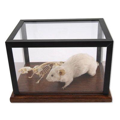 Squelette de souris et souris naturalisée T31001