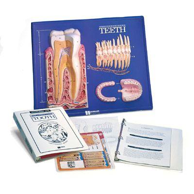 Modèle pratique d'instruction illustrant les dents W40209