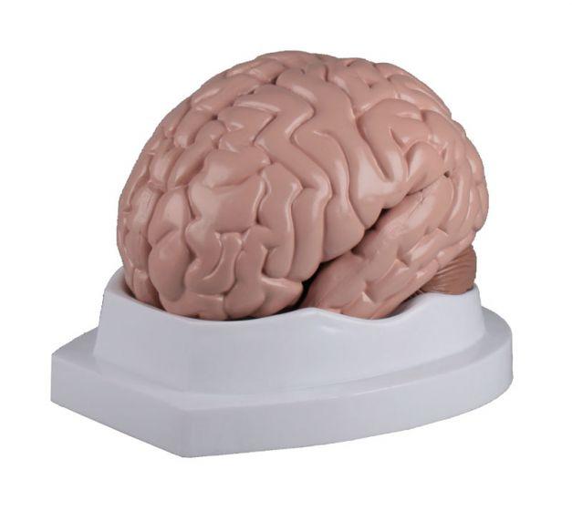 Modèle de cerveau en 5 parties C218 Erler Zimmer