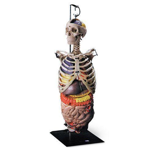 Squelette de la partie supérieure du corps avec organes W47053
