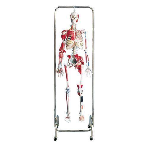 Squelette pour physiothérapie W47001