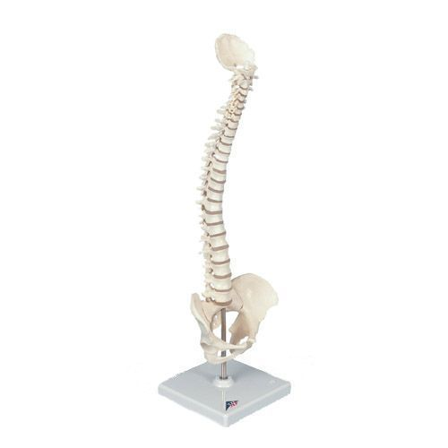 Colonne vertébrale miniature, élastique A18/20