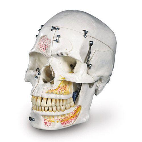 Cráneo de demostracion de lujo, 10 partes 3B scientific, A27