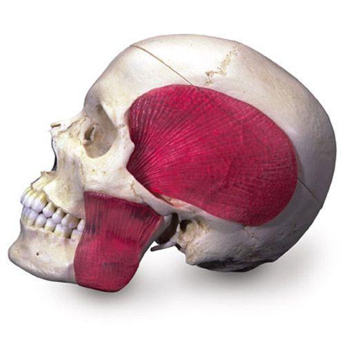 Crâne combiné transparent-osseux, 8 parties A282